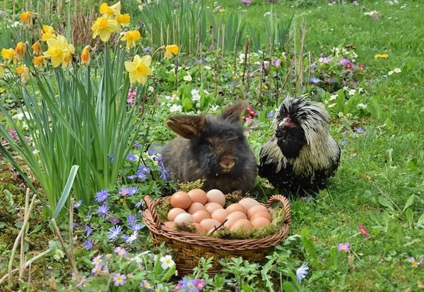 Lapin et poule